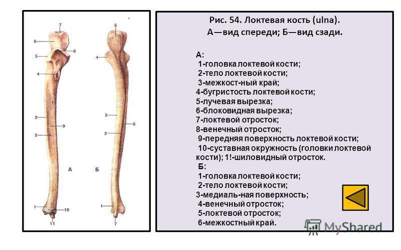 Рис. 54. Локтевая кость (ulna). Авид спереди; Бвид сзади. А: 1-головка локтевой кости; 2-тело локтевой кости; 3-межкост-ный край; 4-бугристость локтевой кости; 5-лучевая вырезка; 6-блоковидная вырезка; 7-локтевой отросток; 8-венечный отросток; 9-пере