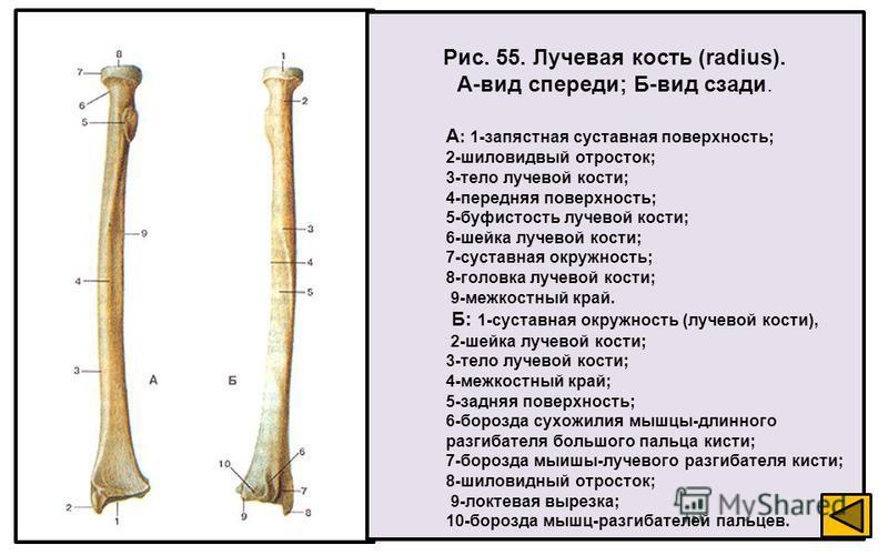 Рис. 55. Лучевая кость (radius). А-вид спереди; Б-вид сзади. А : 1-запястная суставная поверхность; 2-шиловидвый отросток; 3-тело лучевой кости; 4-передняя поверхность; 5-буфистость лучевой кости; 6-шейка лучевой кости; 7-суставная окружность; 8-голо