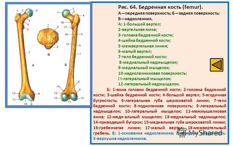 Рис. 64. Бедренная кость (femur). Апередняя поверхность; Бзадняя поверхность; Внадколенник. А: 1-большой вертел; 2-вертельная ямка; 3-головка бедренной кости; 4-шейка бедренной кости; 5-межвертельная линия; 6-малый вертел; 7-тело бедренной кости; 8-м