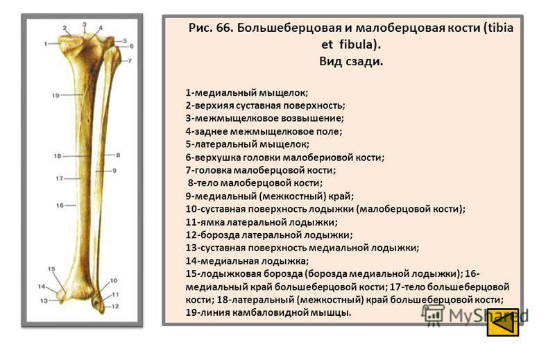 Кость Большеберцовая