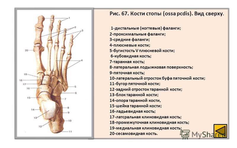 Рис. 67. Кости стопы (ossa pcdis). Вид сверху. 1-дистальные (ногтевые) фаланги; 2-проксимальные фаланги; 3-средние фаланги; 4-плюсневые кости; 5-бугистость V плюсневой кости; 6-кубовидная кость; 7-таранная кость; 8-латеральная лодыжковая поверхность;