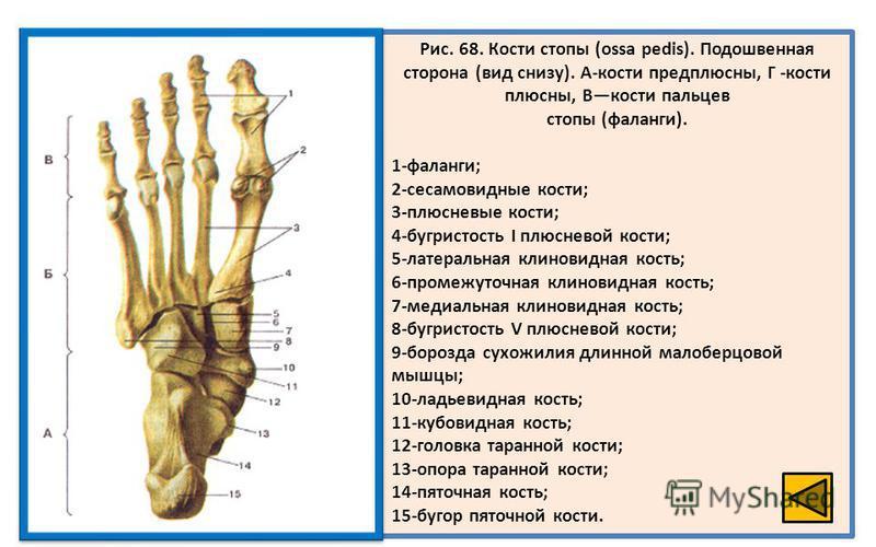 Рис. 68. Кости стопы (ossa pedis). Подошвенная сторона (вид снизу). А-кости предплюсны, Г -кости плюсны, Вкости пальцев стопы (фаланги). 1-фаланги; 2-сесамовидные кости; 3-плюсневые кости; 4-бугристость I плюсневой кости; 5-латеральная клиновидная ко