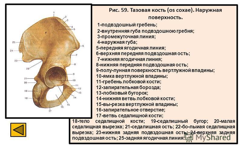 Рис. 59. Тазовая кость (os coxae). Наружная поверхность. 1-подвздошный гребень; 2-внутренняя губа подвздошною гребня; 3-промежуточная линия; 4-наружная губа; 5-передняя ягодичная линия; 6-верхняя передняя подвздошная ость; 7-нижняя ягодичная линия; 8