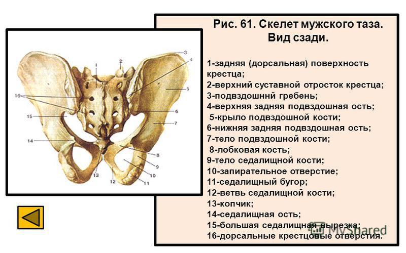 Рис. 61. Скелет мужского таза. Вид сзади. 1-задняя (дорсальная) поверхность крестца; 2-верхний суставной отросток крестца; 3-подвздошннй гребень; 4-верхняя задняя подвздошная ость; 5-крыло подвздошной кости; 6-нижняя задняя подвздошная ость; 7-тело п
