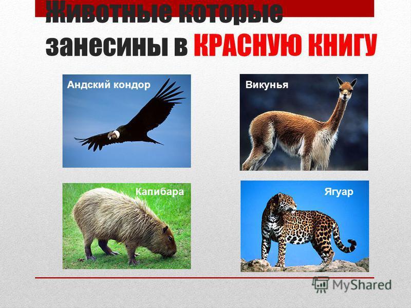 Животные которые занесены в КРАСНУЮ КНИГУ Андский кондор Викунья Капибара Ягуар