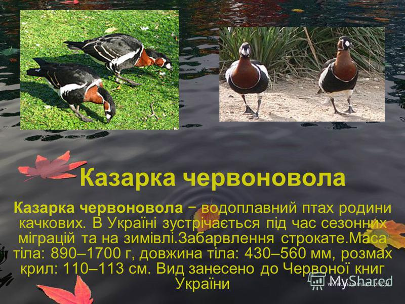 Казарка червоновола Казарка червоновола водоплавний птах родини качкових. В Україні зустрічається під час сезонних міграцій та на зимівлі.Забарвлення строкате.Маса тіла: 890–1700 г, довжина тіла: 430–560 мм, розмах крил: 110–113 см. Вид занесено до Ч