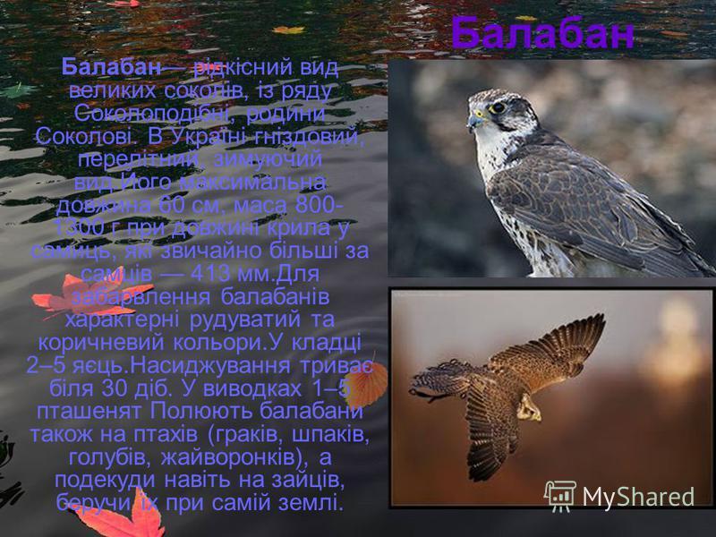 Балабан Балабан рідкісний вид великих соколів, із ряду Соколоподібні, родини Соколові. В Україні гніздовий, перелітний, зимуючий вид.Його максимальна довжина 60 см, маса 800- 1300 г при довжині крила у самиць, які звичайно більші за самців 413 мм.Для