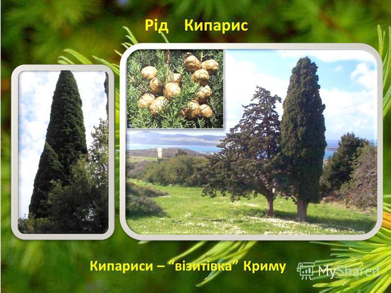 Рід Кипарис Кипариси – візитівка Криму