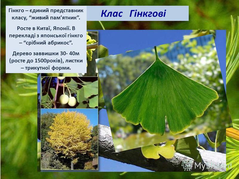 Гінкго – єдиний представник класу, живий памятник. Росте в Китаї, Японії. В перекладі з японської гінкго – срібний абрикос. Дерево заввишки 30- 40м (росте до 1500років), листки – трикутної форми.