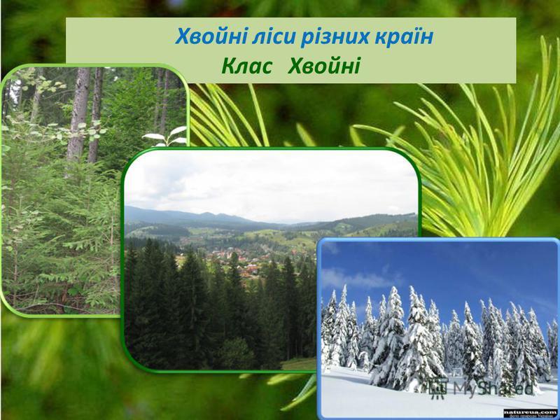 Хвойні ліси різних країн Клас Хвойні