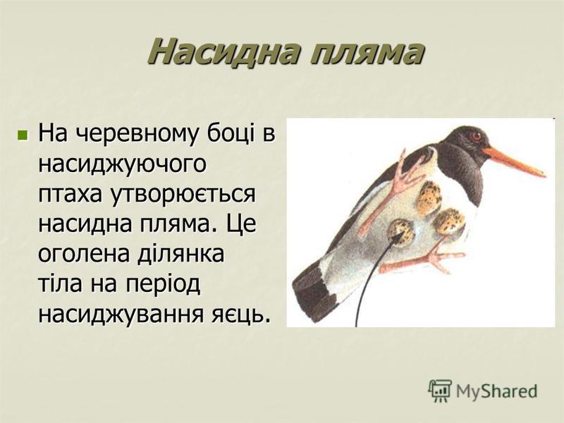 Насидна пляма На черевному боці в насиджуючого птаха утворюється насидна пляма. Це оголена ділянка тіла на період насиджування яєць. На черевному боці в насиджуючого птаха утворюється насидна пляма. Це оголена ділянка тіла на період насиджування яєць