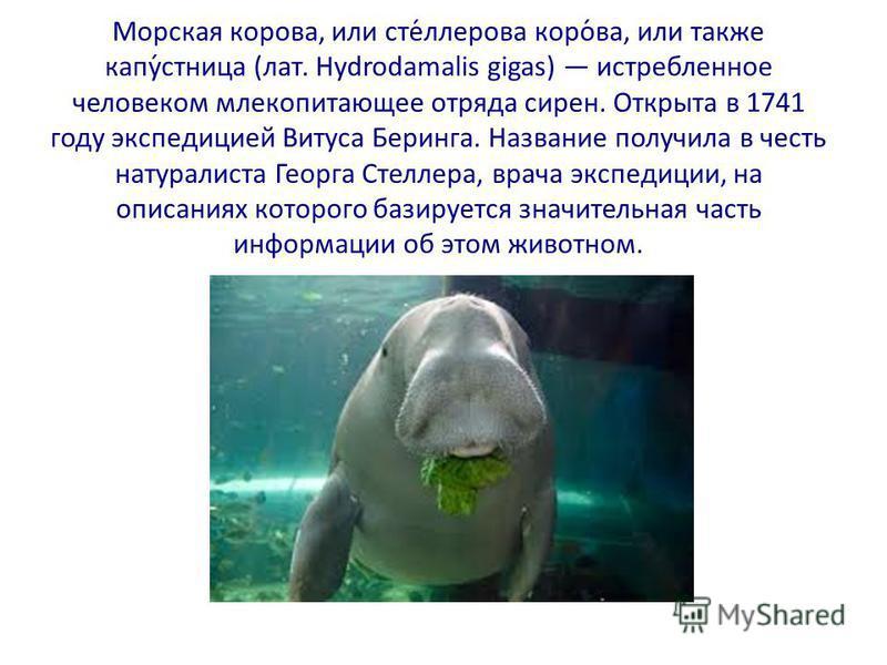 Морская корова, или сте́ллерова коро́ва, или также капу́стница (лат. Hydrodamalis gigas) истребленное человеком млекопитающее отряда сирен. Открыта в 1741 году экспедицией Витуса Беринга. Название получила в честь натуралиста Георга Стеллера, врача э