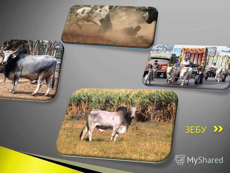 Зе́бу [1] (лат. Bos taurus indicus) подвид дикого быка, распространённый на территории Индийского субконтинента. В отличие от европейской коровы, зебу не ведёт своё происхождение от тура, а является отдельной ветвью, отколовшейся около 300 тысяч лет
