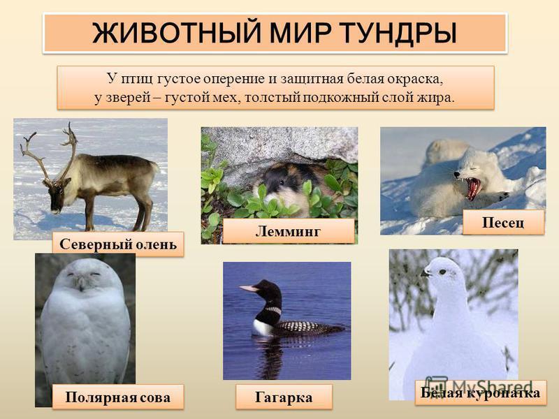 ЖИВОТНЫЙ МИР ТУНДРЫ У птиц густое оперение и защитная белая окраска, у зверей – густой мех, толстый подкожный слой жира. У птиц густое оперение и защитная белая окраска, у зверей – густой мех, толстый подкожный слой жира. Лемминг Северный олень Песец