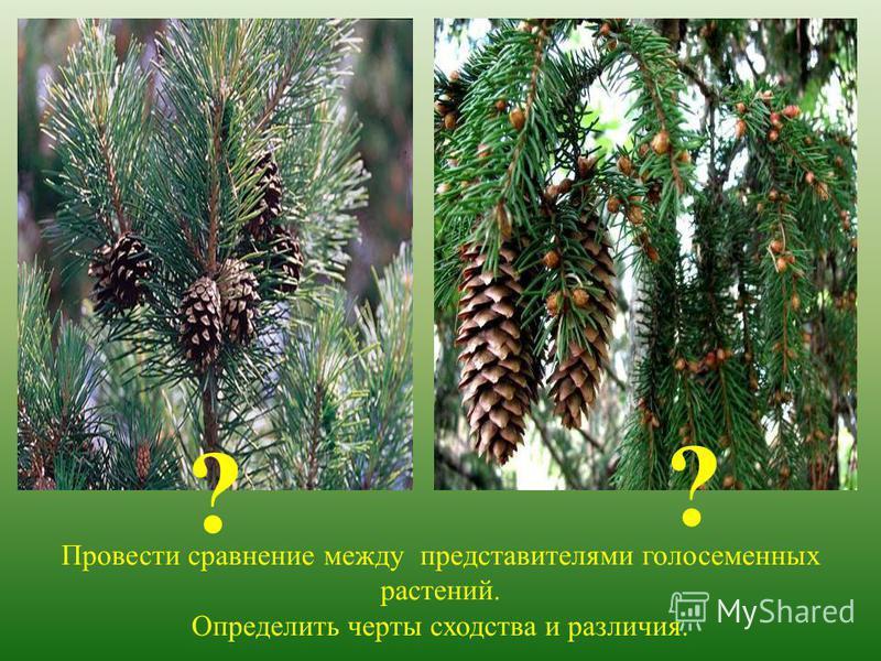 Провести сравнение между представителями голосеменных растений. Определить черты сходства и различия. ? ?