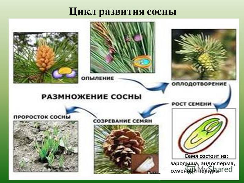Цикл развития сосны Семя состоит из: зародыша, эндосперма, семенной кожуры