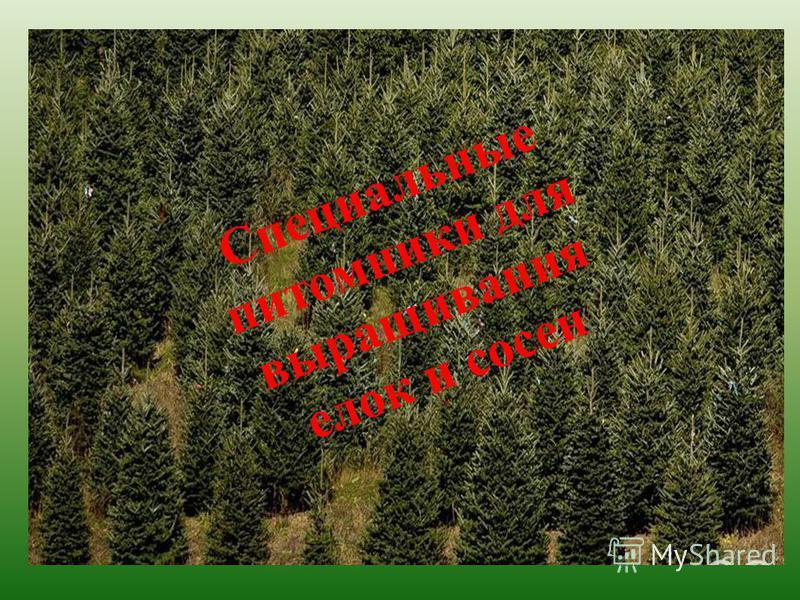 Специальные питомники для выращивания елок и сосен
