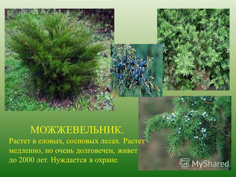 МОЖЖЕВЕЛЬНИК. Растет в еловых, сосновых лесах. Растет медленно, но очень долговечен, живет до 2000 лет. Нуждается в охране.
