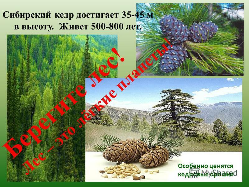 Сибирский кедр достигает 35-45 м в высоту. Живет 500-800 лет. Особенно ценятся кедровые орешки Берегите лес! Лес – это лёгкие планеты !