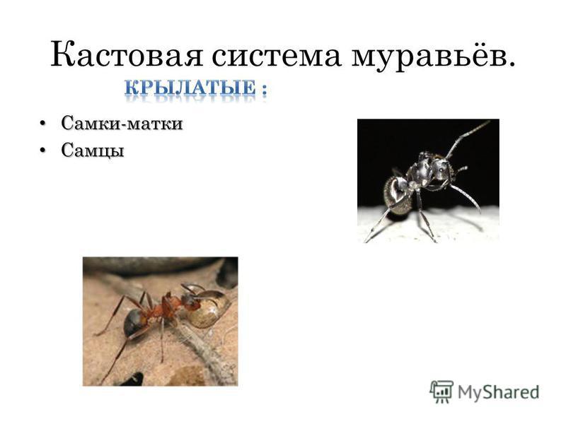 Кастовая система муравьёв. Самки-матки Самки-матки Самцы Самцы