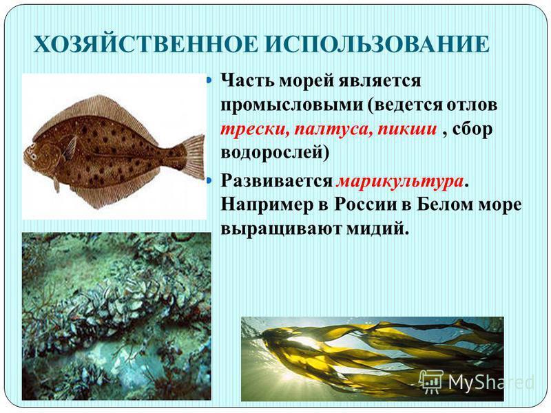 ХОЗЯЙСТВЕННОЕ ИСПОЛЬЗОВАНИЕ Часть морей является промысловыми (ведется отлов трески, палтуса, пикши, сбор водорослей) Развивается марикультура. Например в России в Белом море выращивают мидий.
