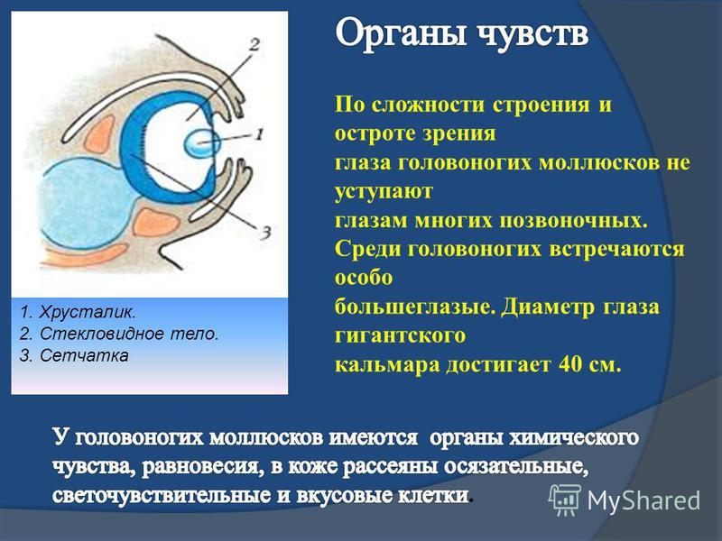 1. Хрусталик. 2. Стекловидное тело. 3. Сетчатка По сложности строения и остроте зрения глаза головоногих моллюсков не уступают глазам многих позвоночных. Среди головоногих встречаются особо большеглазые. Диаметр глаза гигантского кальмара достигает 4