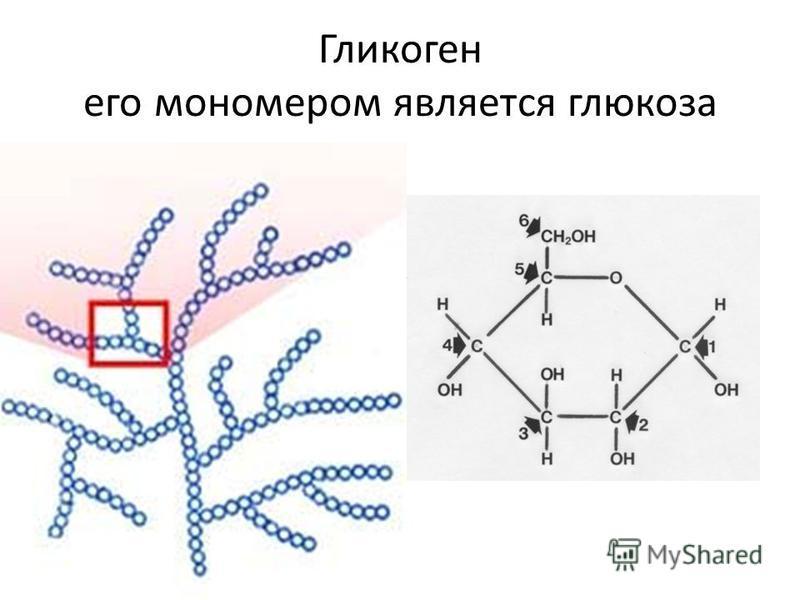 Гликоген его мономером является глюкоза