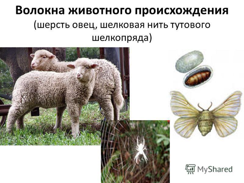 Волокна животного происхождения (шерсть овец, шелковая нить тутового шелкопряда)