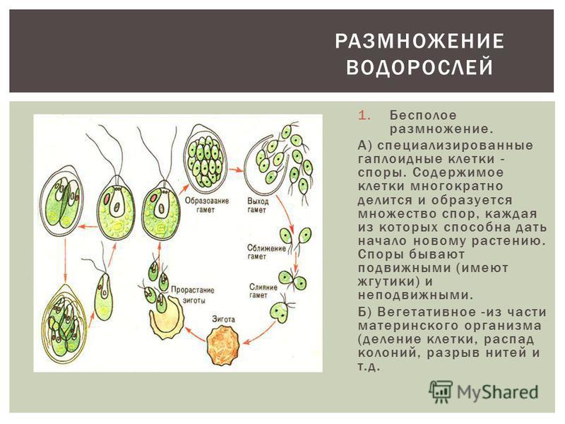 1. Бесполое размножение. А) специализированные гаплоидные клетки - споры. Содержимое клетки многократно делится и образуется множество спор, каждая из которых способна дать начало новому растению. Споры бывают подвижными (имеют жгутики) и неподвижным