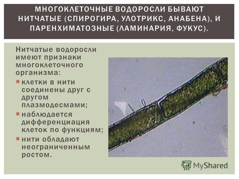 Нитчатые водоросли имеют признаки многоклеточного организма: клетки в нити соединены друг с другом плазмодесмами; наблюдается дифференциация клеток по функциям; нити обладают неограниченным ростом. МНОГОКЛЕТОЧНЫЕ ВОДОРОСЛИ БЫВАЮТ НИТЧАТЫЕ (СПИРОГИРА,