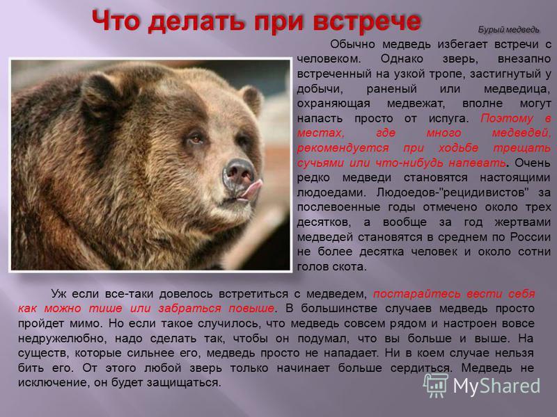 Бурый медведь Уж если все-таки довелось встретиться с медведем, постарайтесь вести себя как можно тише или забраться повыше. В большинстве случаев медведь просто пройдет мимо. Но если такое случилось, что медведь совсем рядом и настроен вовсе недруже