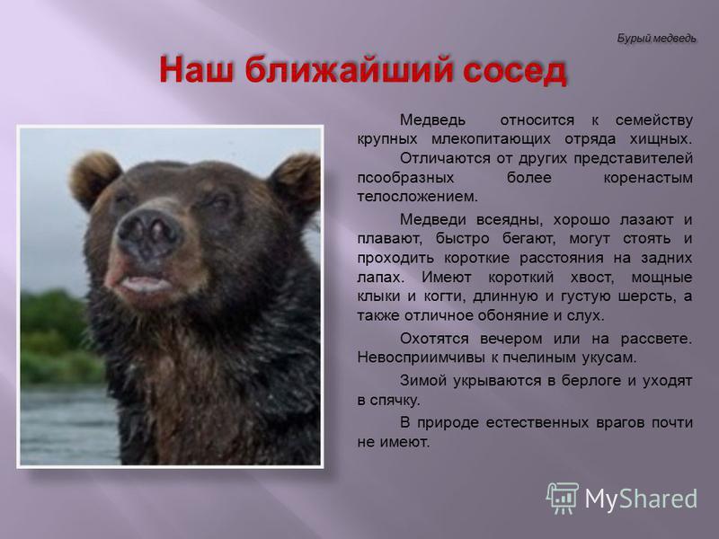 Бурый медведь Медведь относится к семейству крупных млекопитающих отряда хищных. Отличаются от других представителей пастообразных более коренастым телосложением. Медведи всеядны, хорошо лазают и плавают, быстро бегают, могут стоять и проходить корот