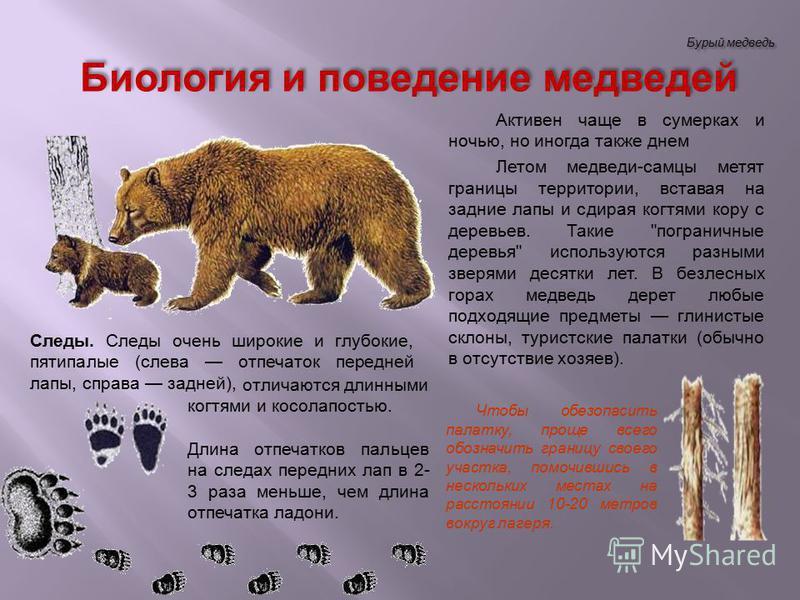 Бурый медведь Активен чаще в сумерках и ночью, но иногда также днем Летом медведи-самцы метят границы территории, вставая на задние лапы и сдирая когтями кору с деревьев. Такие