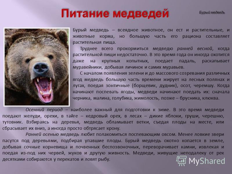 Бурый медведь Питание медведей Бурый медведь – всеядное животное, он ест и растительные, и животные корма, но большую часть его рациона составляет растительная пища. Труднее всего прокормиться медведю ранней весной, когда растительной пищи недостаточ