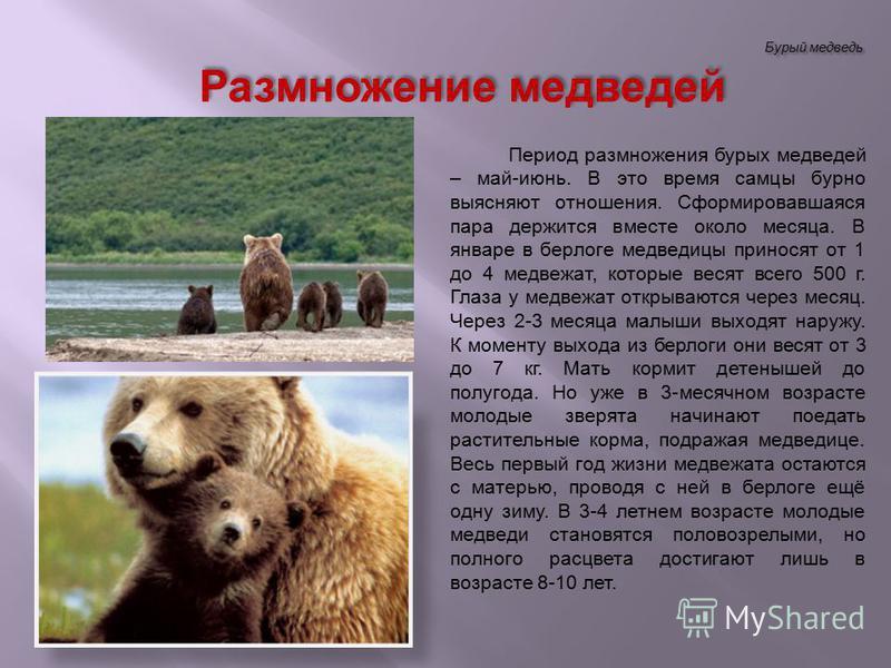 Бурый медведь Период размножения бурых медведей – май-июнь. В это время самцы бурно выясняют отношения. Сформировавшаяся пара держится вместе около месяца. В январе в берлоге медведицы приносят от 1 до 4 медвежат, которые весят всего 500 г. Глаза у м