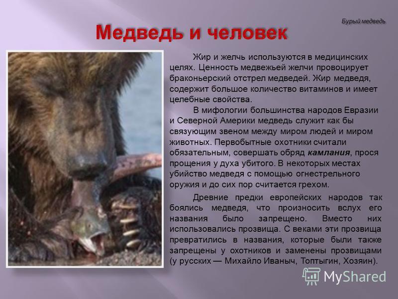 Бурый медведь Жир и желчь используются в медицинских целях. Ценность медвежьей желчи провоцирует браконьерский отстрел медведей. Жир медведя, содержит большое количество витаминов и имеет целебные свойства. В мифологии большинства народов Евразии и С