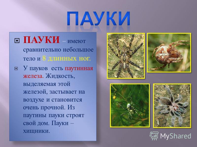 ПАУКИ – имеют сравнительно небольшое тело и 8 длинных ног. У пауков есть паутинная железа. Жидкость, выделяемая этой железой, застывает на воздухе и становится очень прочной. Из паутины пауки строят свой дом. Пауки – хищники.