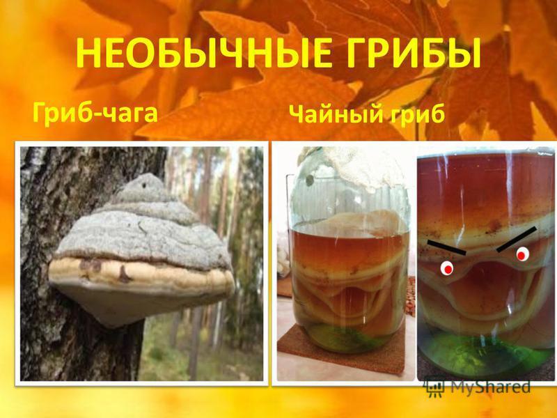 НЕОБЫЧНЫЕ ГРИБЫ Гриб-чага Чайный гриб