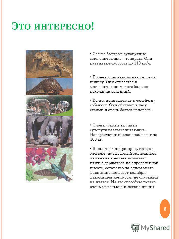 Э ТО ИНТЕРЕСНО ! Самые быстрые сухопутные млекопитающие – гепарды. Они развивают скорость до 110 км/ч. Броненосцы напоминают еловую шишку. Они относятся к млекопитающим, хотя больше похожи на рептилий. Волки принадлежат к семейству собачьих. Они обит