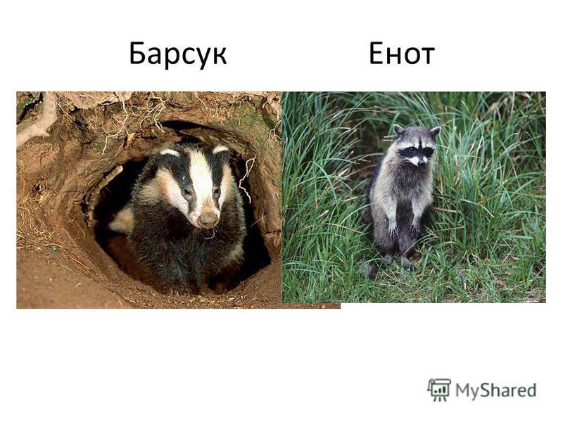 Барсук Енот