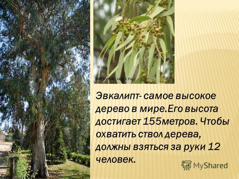 Эвкалипт- самое высокое дерево в мире.Его высота достигает 155 метров. Чтобы охватить ствол дерева, должны взяться за руки 12 человек.