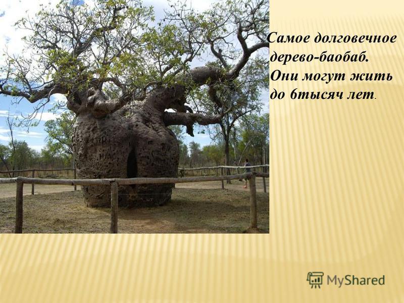 Самое долговечное дерево-баобаб. Они могут жить до 6 тысяч лет.