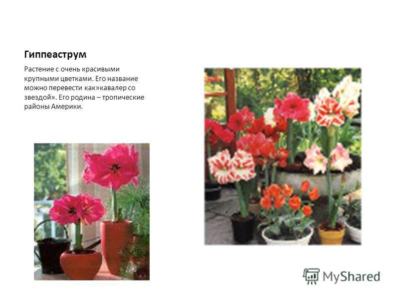 Гиппеаструм Растение с очень красивыми крупными цветками. Его название можно перевести как»кавалер со звездой». Его родина – тропические районы Америки.