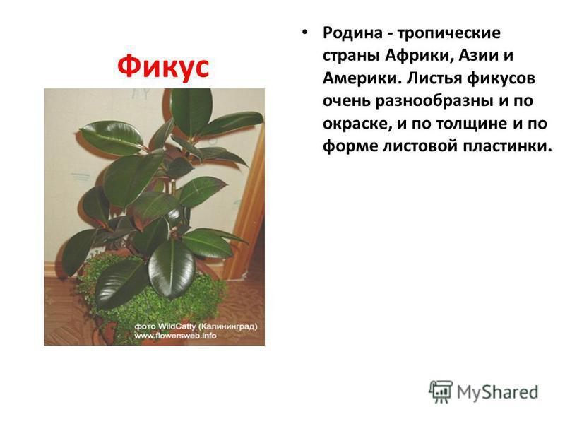 Фикус Родина - тропические страны Африки, Азии и Америки. Листья фикусов очень разнообразны и по окраске, и по толщине и по форме листовой пластинки.