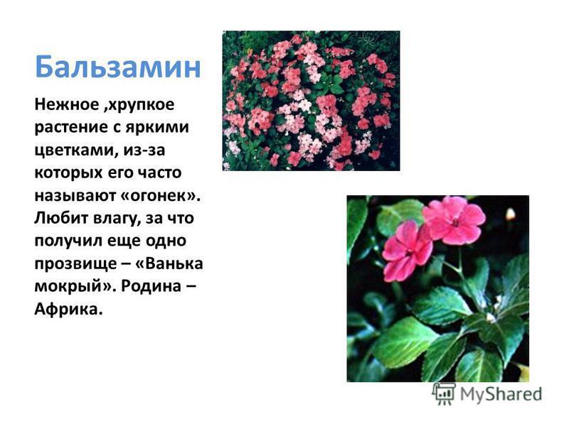 Бальзамин Нежное,хрупкое растение с яркими цветками, из-за которых его часто называют «огонек». Любит влагу, за что получил еще одно прозвище – «Ванька мокрый». Родина – Африка.