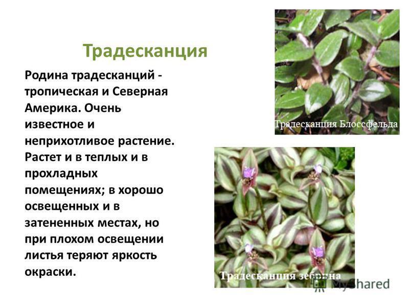 Традесканция Родина традесканций - тропическая и Северная Америка. Очень известное и неприхотливое растение. Растет и в теплых и в прохладных помещениях; в хорошо освещенных и в затененных местах, но при плохом освещении листья теряют яркость окраски