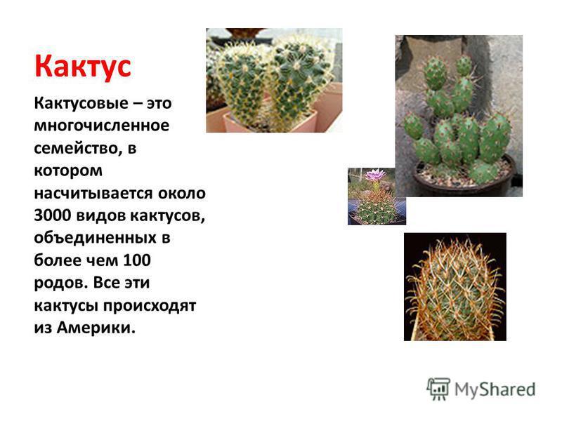 Кактус Кактусовые – это многочисленное семейство, в котором насчитывается около 3000 видов кактусов, объединенных в более чем 100 родов. Все эти кактусы происходят из Америки.