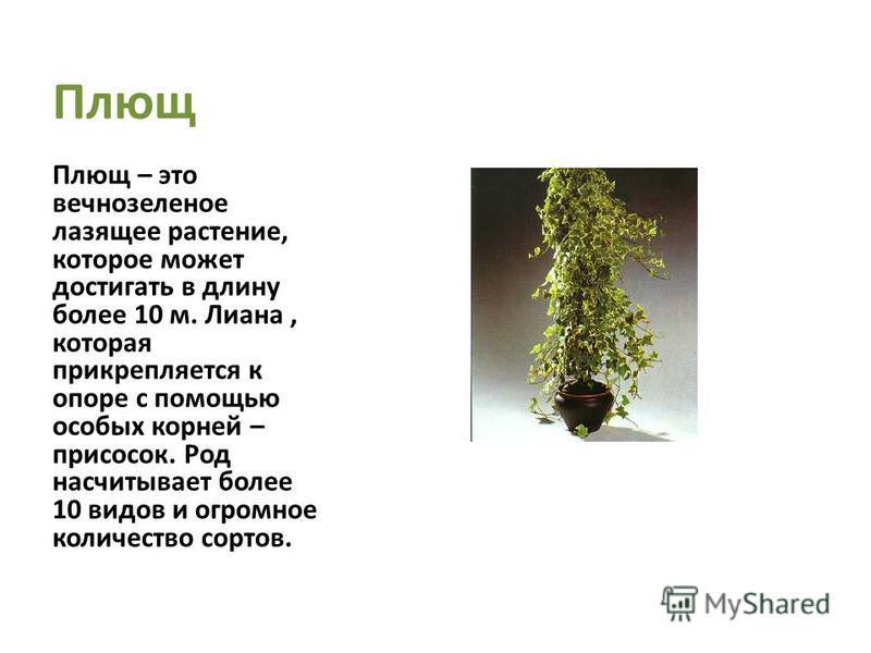 Плющ Плющ – это вечнозеленое лазящее растение, которое может достигать в длину более 10 м. Лиана, которая прикрепляется к опоре с помощью особых корней – присосок. Род насчитывает более 10 видов и огромное количество сортов.