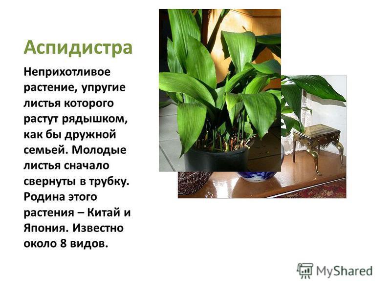 Аспидистра Неприхотливое растение, упругие листья которого растут рядышком, как бы дружной семьей. Молодые листья сначала свернуты в трубку. Родина этого растения – Китай и Япония. Известно около 8 видов.
