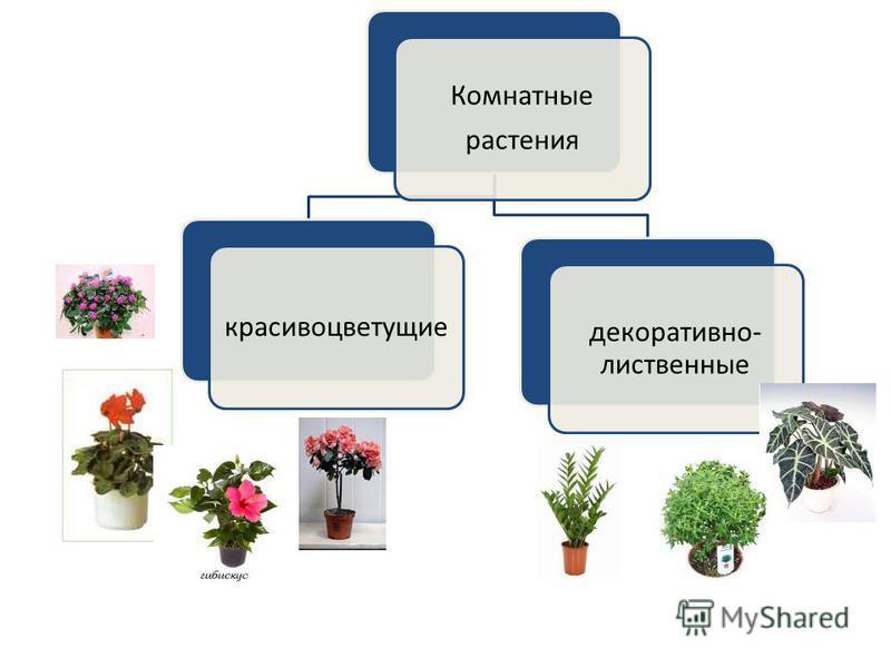 Комнатные растения красивоцветущие декоративно- лиственные